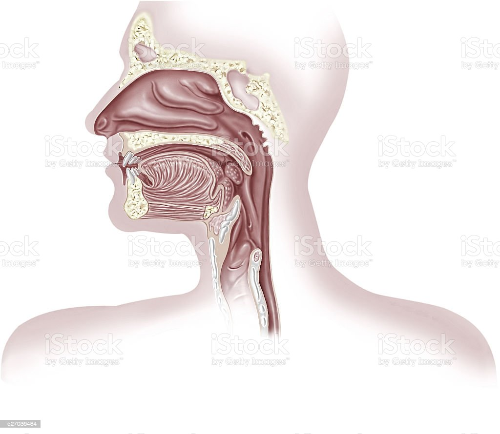 Human respiratory system cross section, head part. stock photo