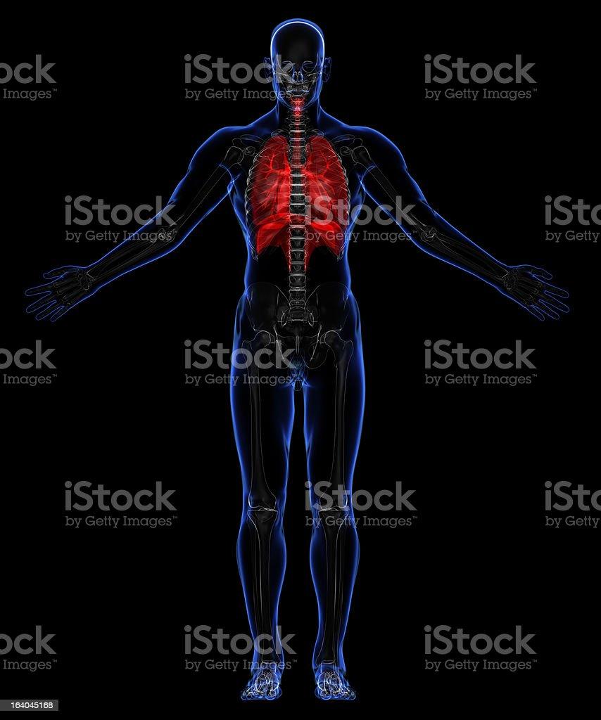 Human Respiratory system royalty-free stock photo