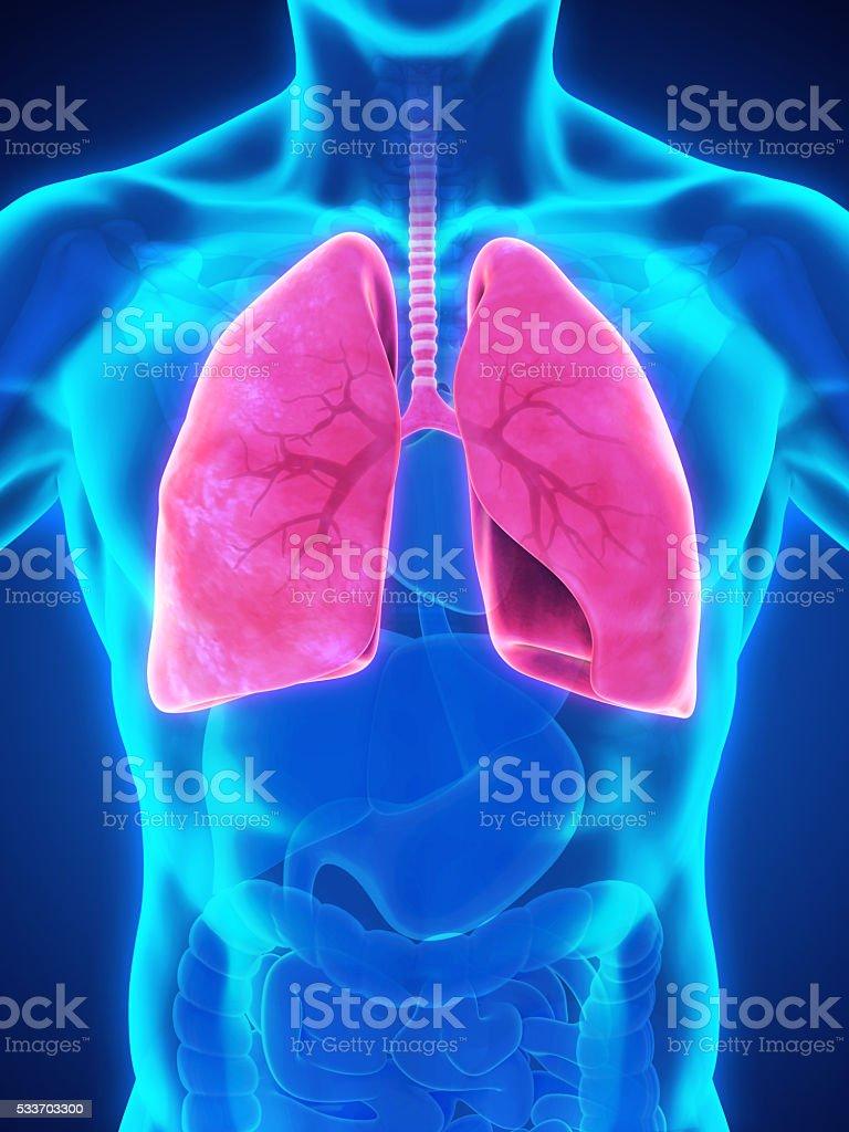Human Respiratory System stock photo