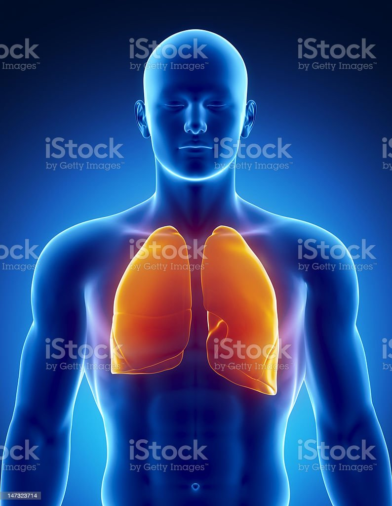 Human respiratory system with lungs stock photo