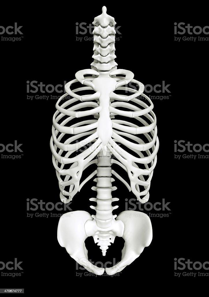 Human rib cage as a skeleton royalty-free stock photo