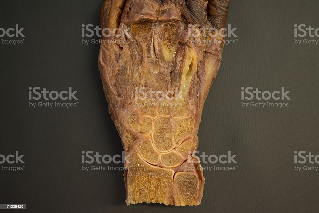 Human right hand before dissection - top view detail stock photo