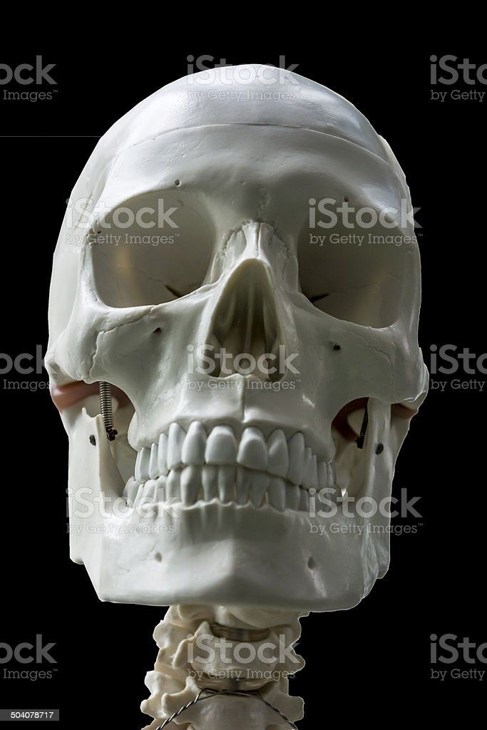 Human scull model with focus on bones and teeth. stock photo