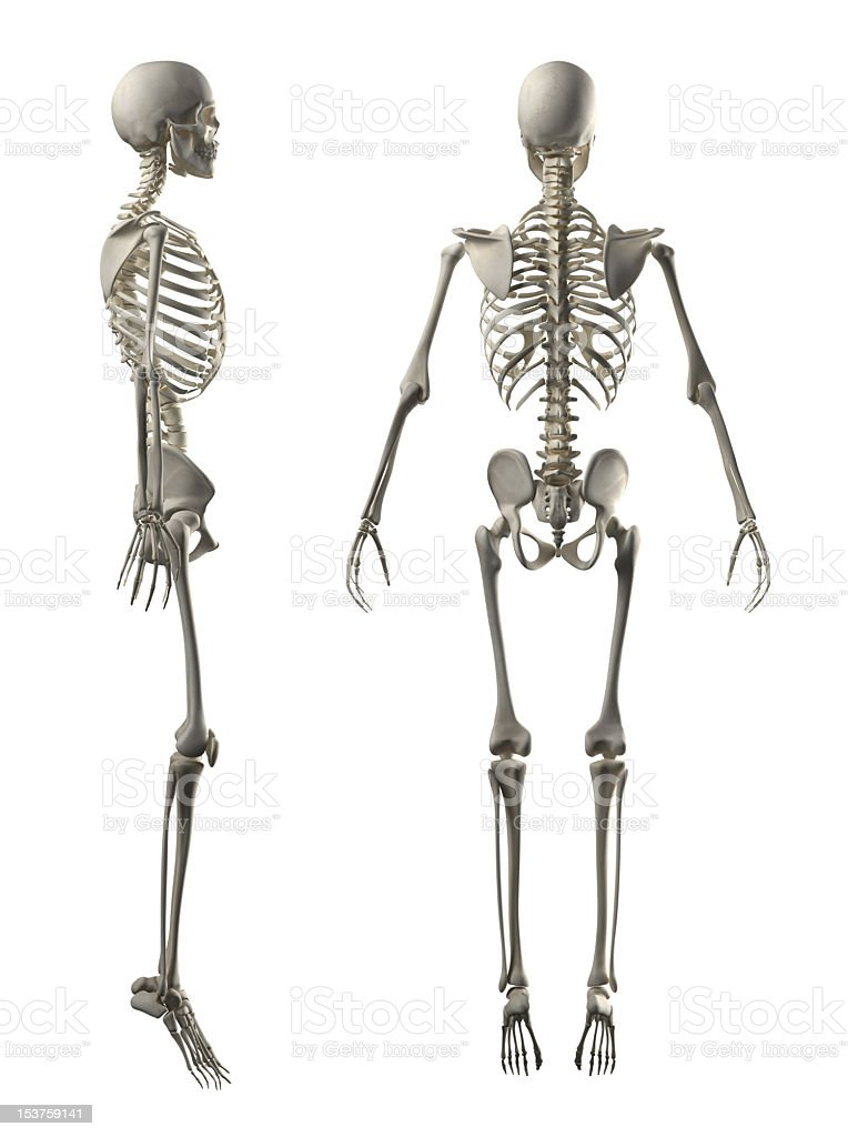 hires human skeleton 12k lateral and posterior view stock photo, Skeleton