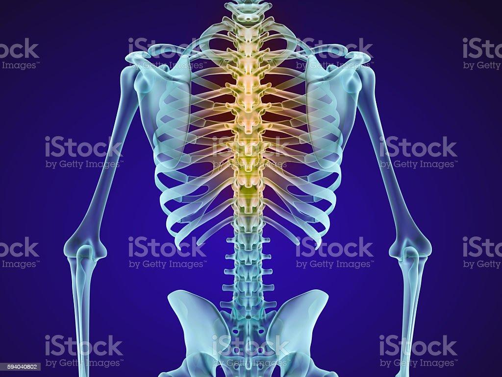 Human skeleton and spine. Xray view. stock photo