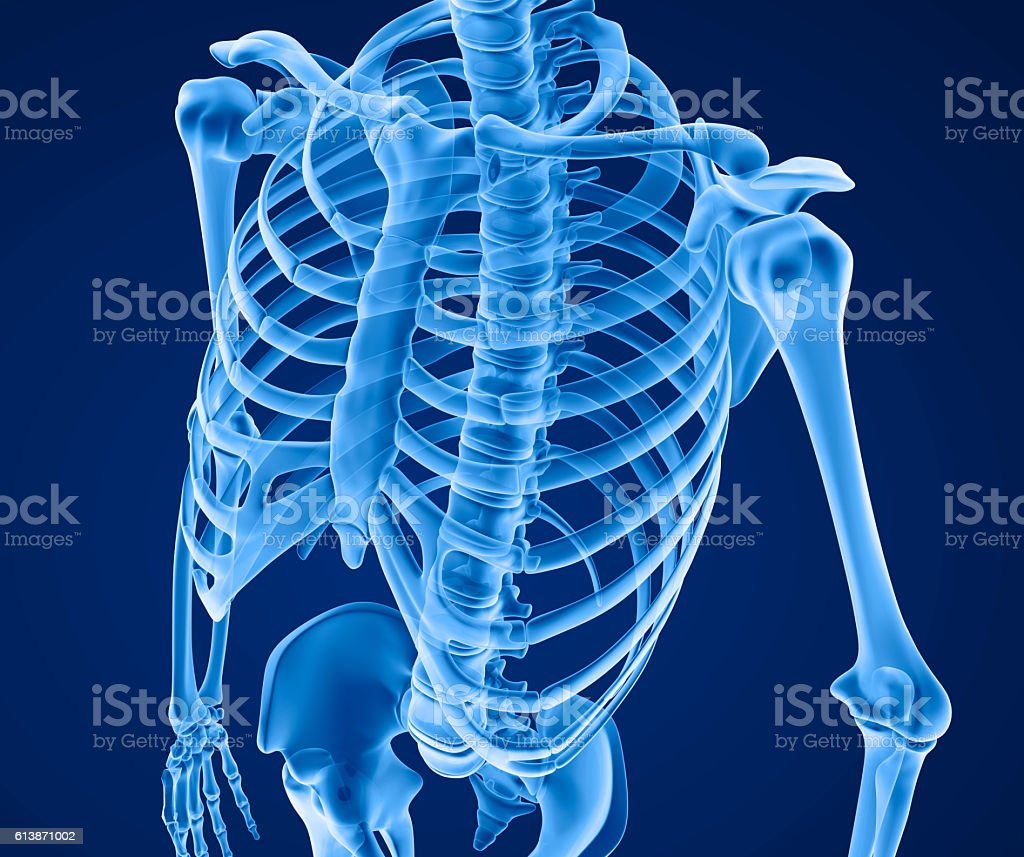 Human skeleton: breast chest. Front view. Medically accurate 3D illustration vector art illustration