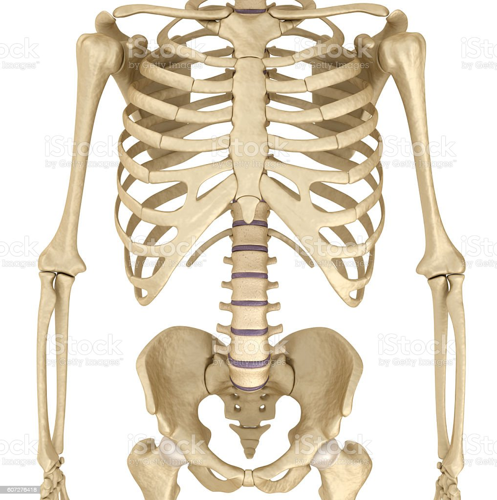 Human skeleton: breast chest. Front view. vector art illustration