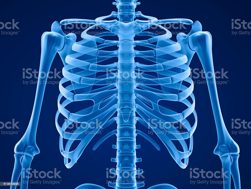 Human skeleton: breast chest. Front view. stock photo