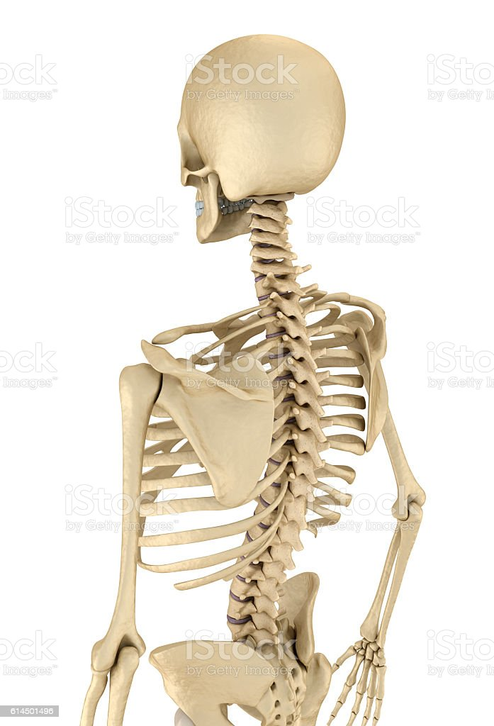 human skeleton breast chest front view stock photo 614501496 | istock, Skeleton