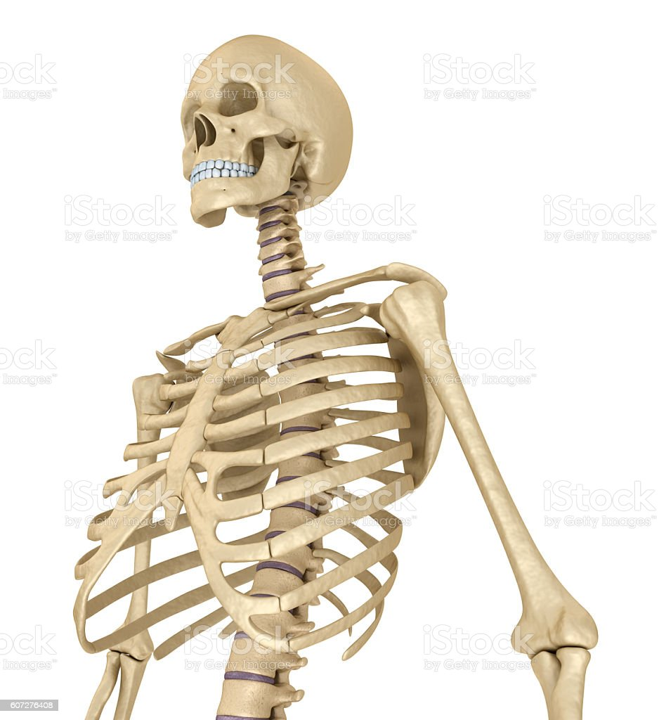 human skeleton breast chest isolated on white stock photo, Skeleton