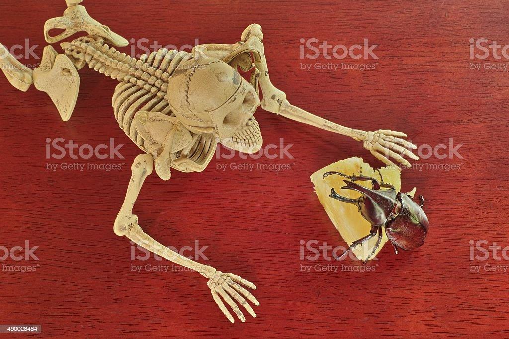 Human Skeleton look Xylotrupes gideon eat pineapple stock photo