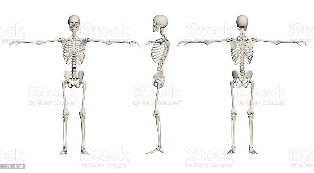 Human Skeleton - male royalty-free stock photo