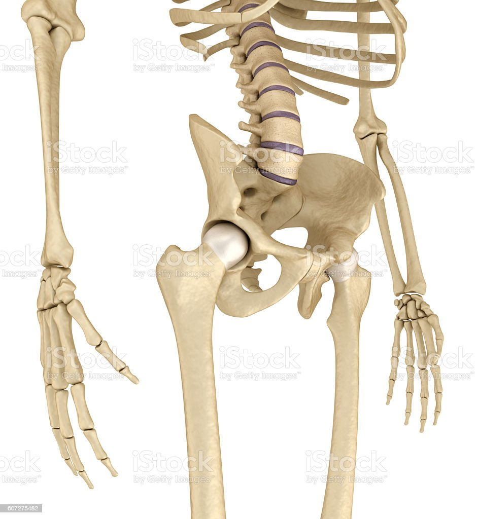 human skeleton pelvis and sacrum isolated on white stock photo, Skeleton