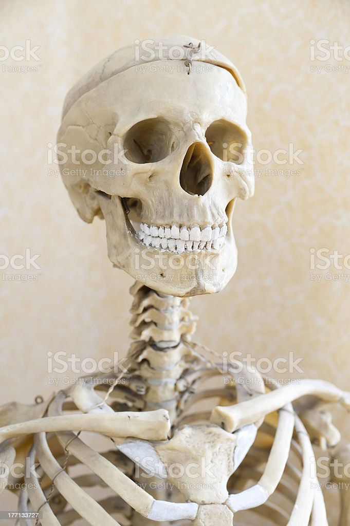 human skeleton royalty-free stock photo