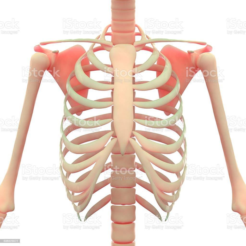 Human Skeleton Scapula with Ribs stock photo