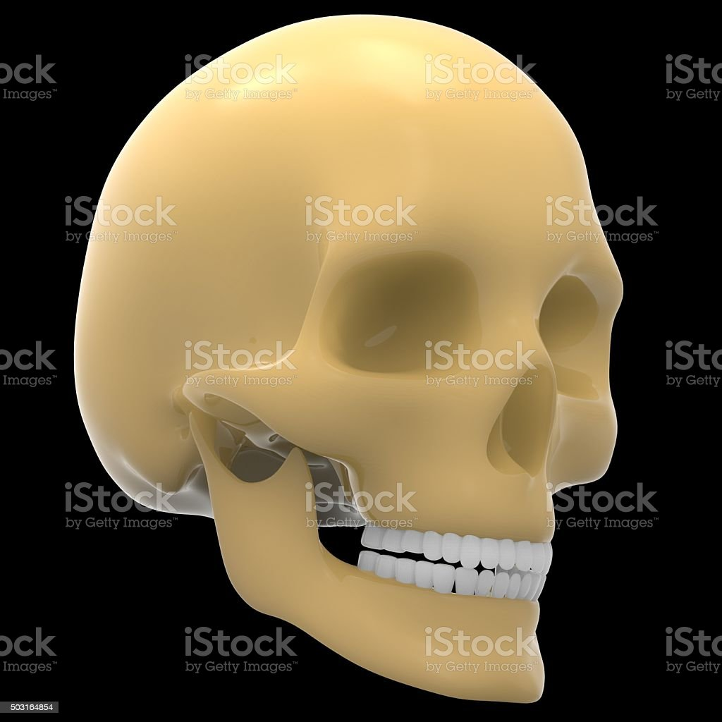 human skeleton skull stock photo 503164854 | istock, Skeleton