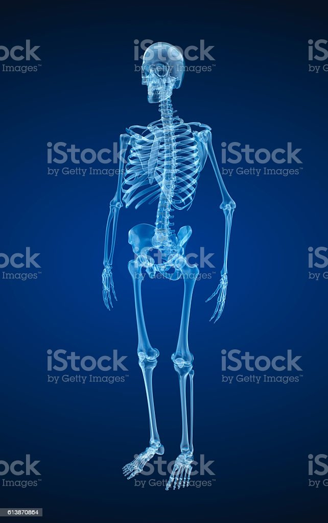 Human skeleton, xray view. Medically accurate 3d illustration . stock photo