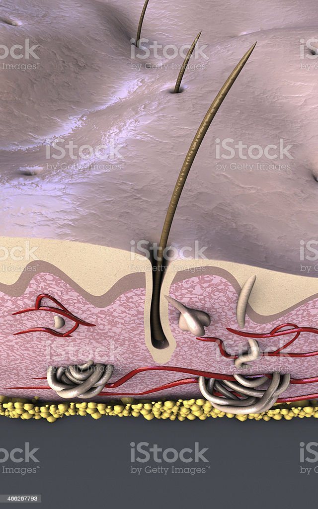 Human Skin Epidermis and hair follicle stock photo
