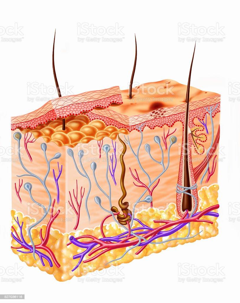 Human skin section diagram stock photo