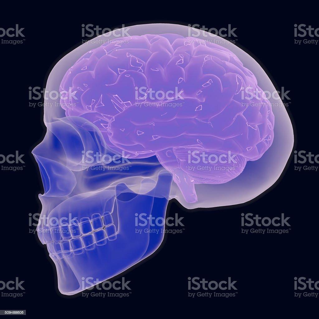 Human Skull And Brain stock photo