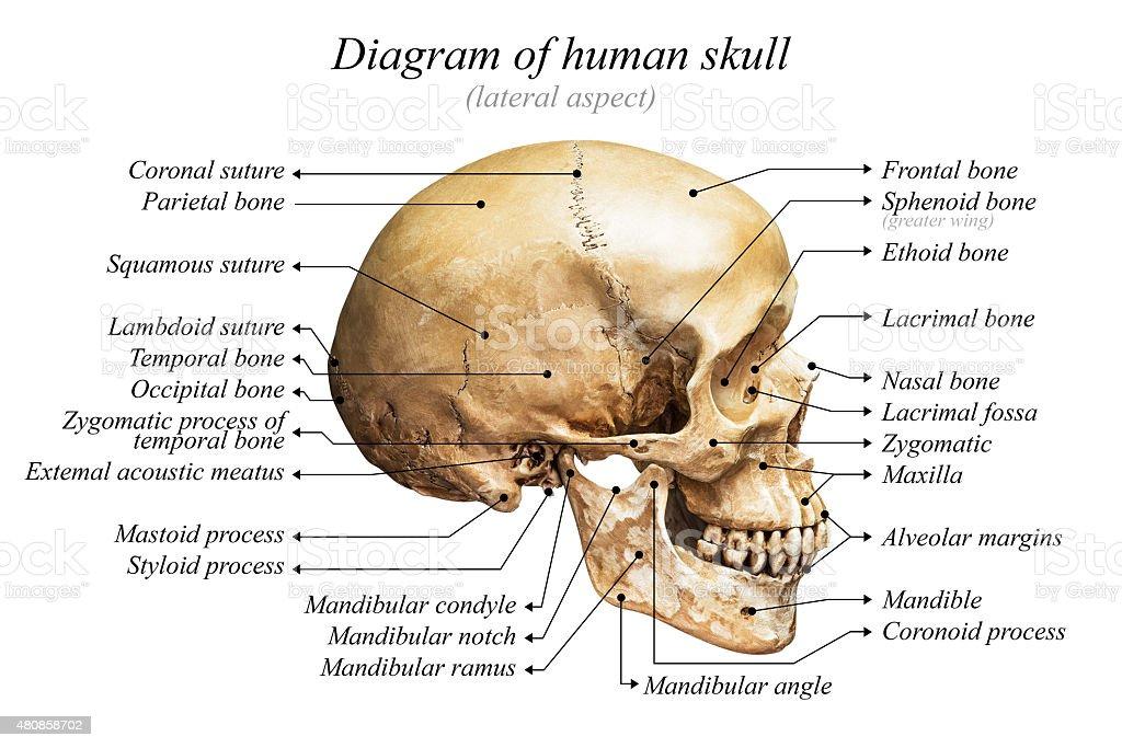 Anatomy skull diagram