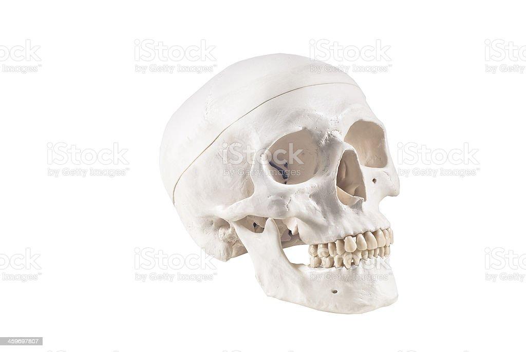 Human skull model,isolated royalty-free stock photo
