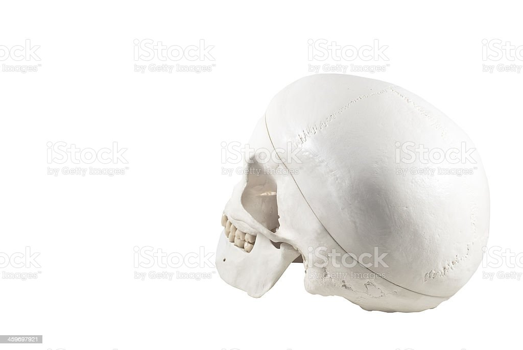 Human skull model,isolated royalty-free stock photo