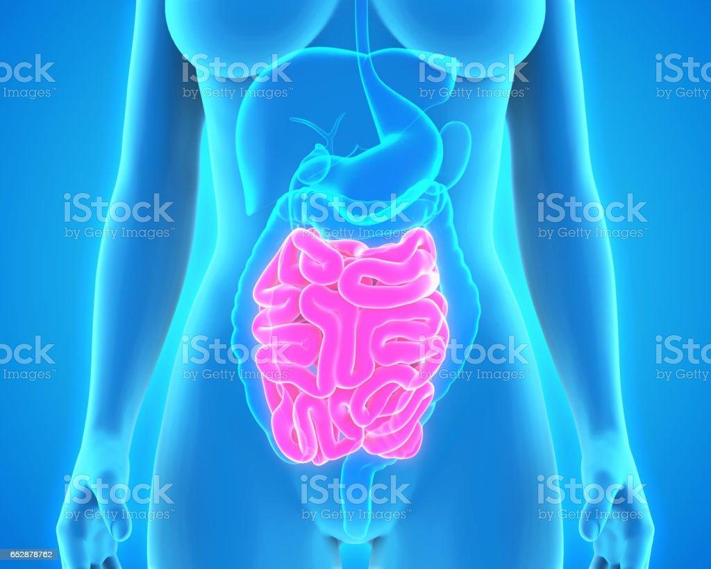 Human Small Intestine Anatomy stock photo