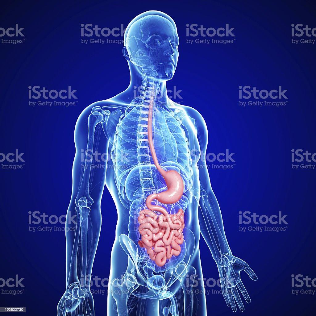 human small intestine and stomach anatomy stock photo