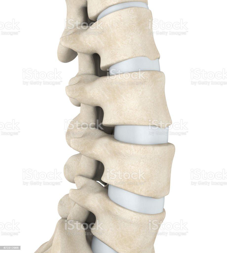 Human Spine Anatomy stock photo