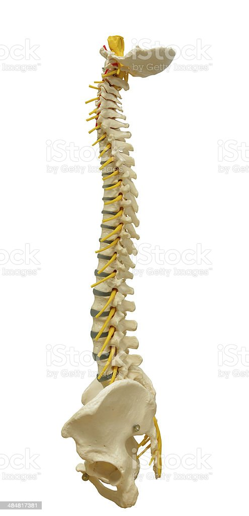 Human Spine Model stock photo