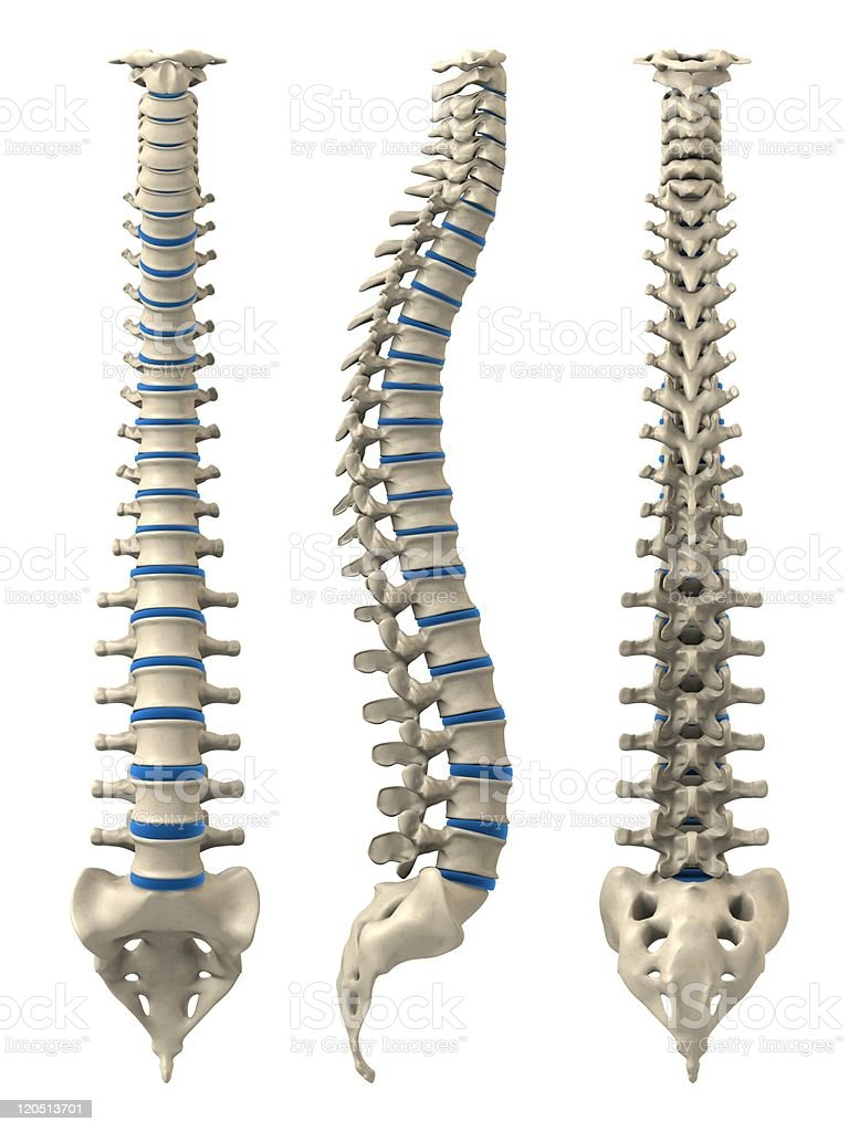 human spine stock photo