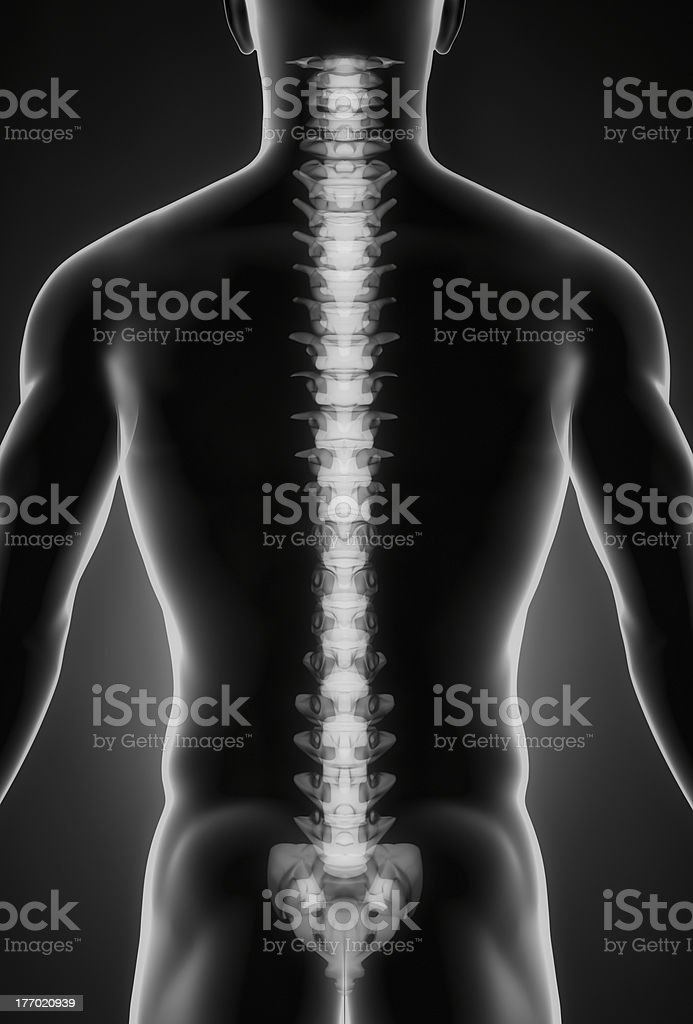 Human spine posterior view royalty-free stock photo