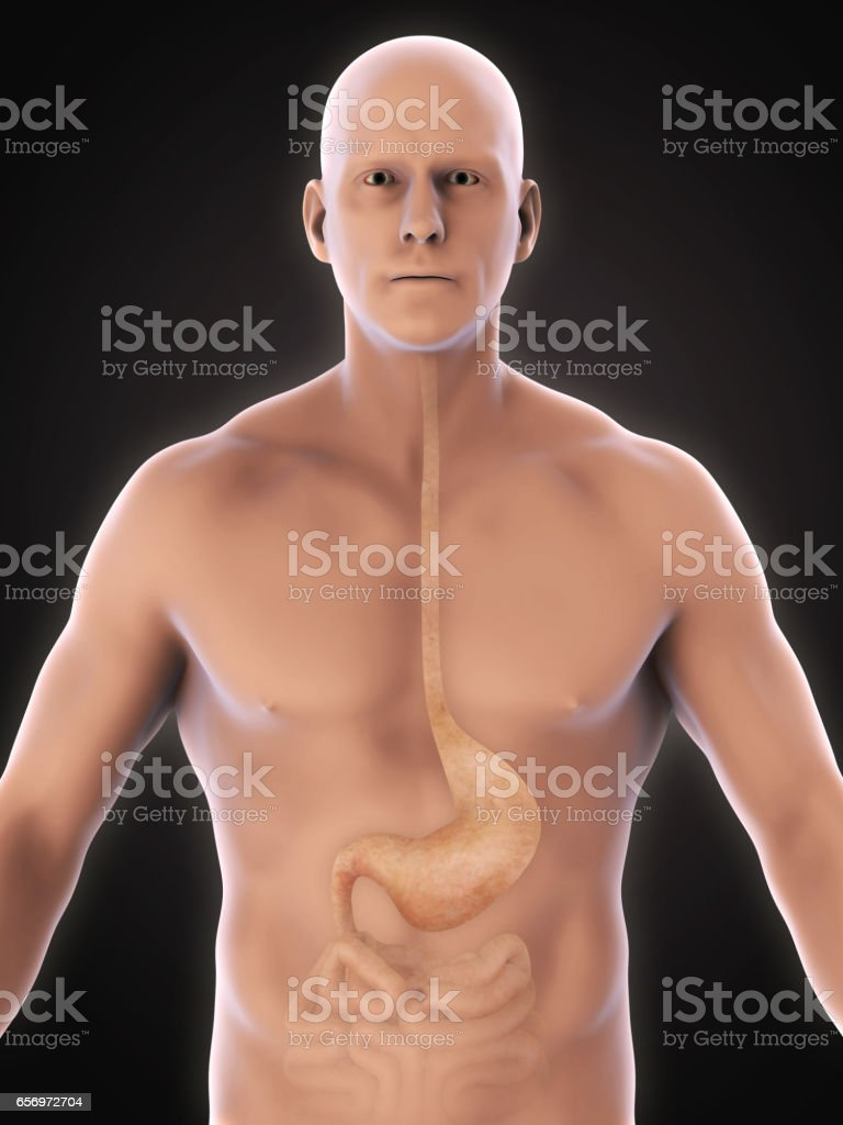 Human Stomach Anatomy stock photo
