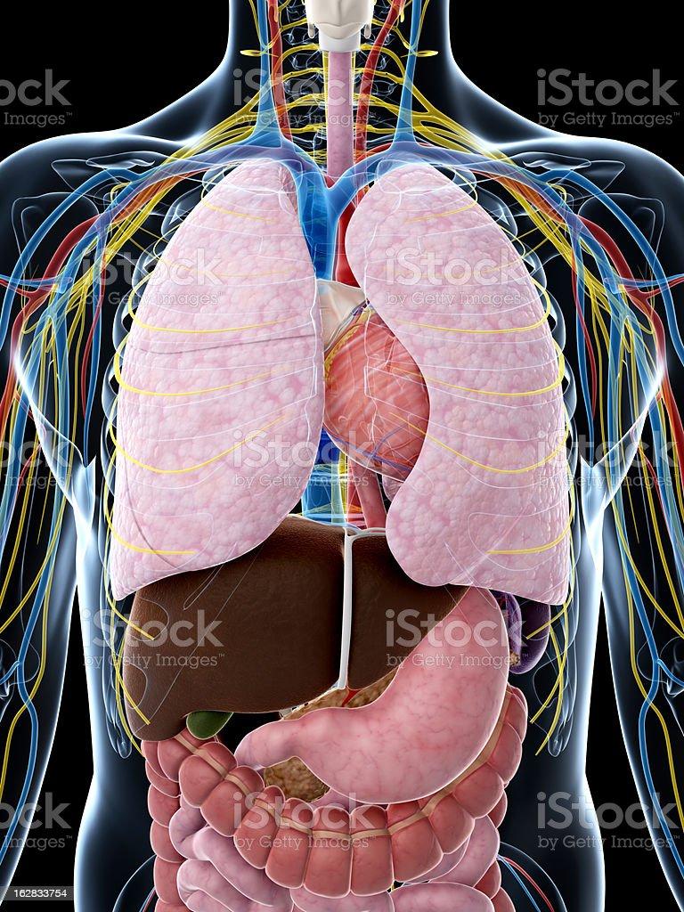 human thorax anatomy royalty-free stock photo