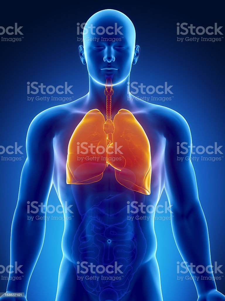 Human thorax organs with lungs and heart stock photo