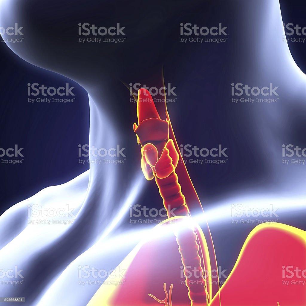Human Thyroid Gland stock photo