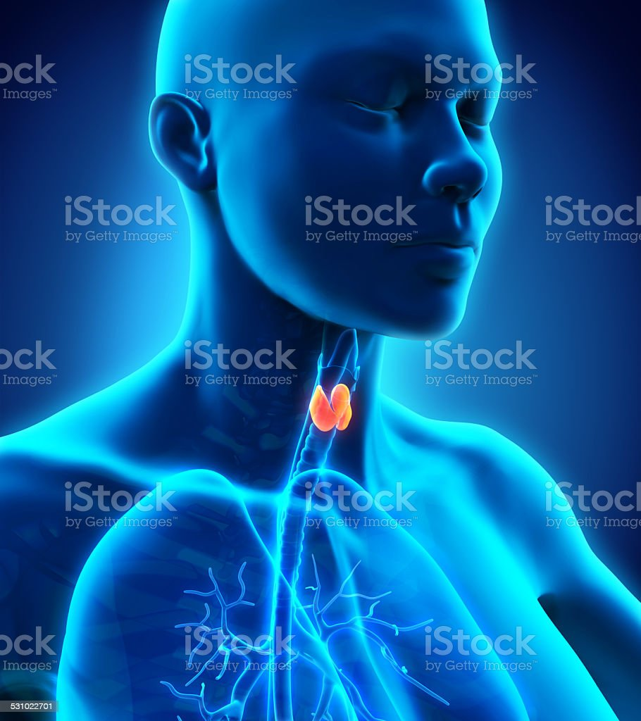 Human Thyroid Gland stock photo