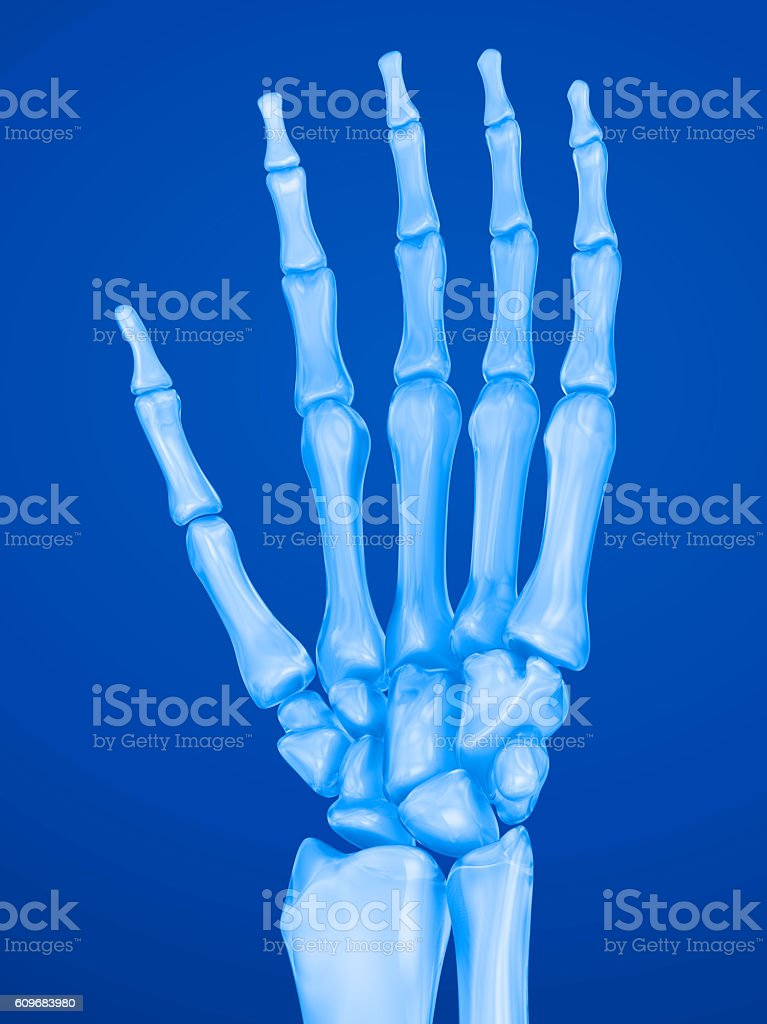 Human wrist anatomy. Xray view. Medically accurate 3D illustration stock photo