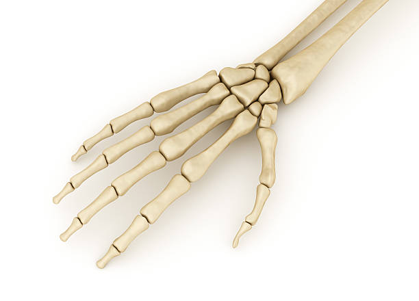 Hand Bone Structure Pictures Images And Stock Photos Istock