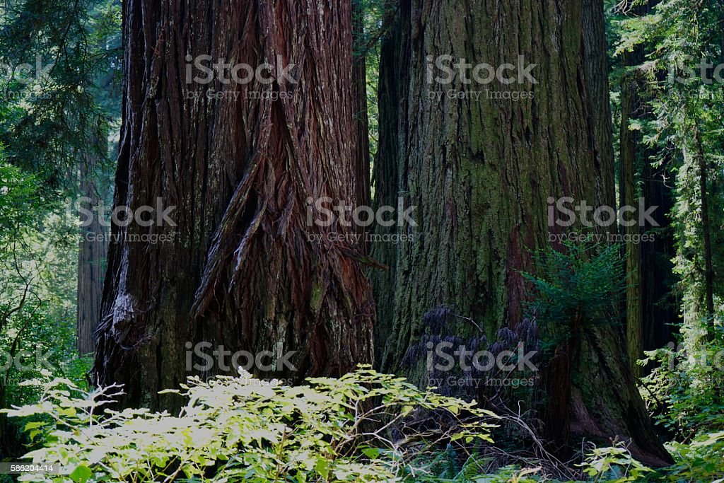 Humboldt County Redwoods stock photo