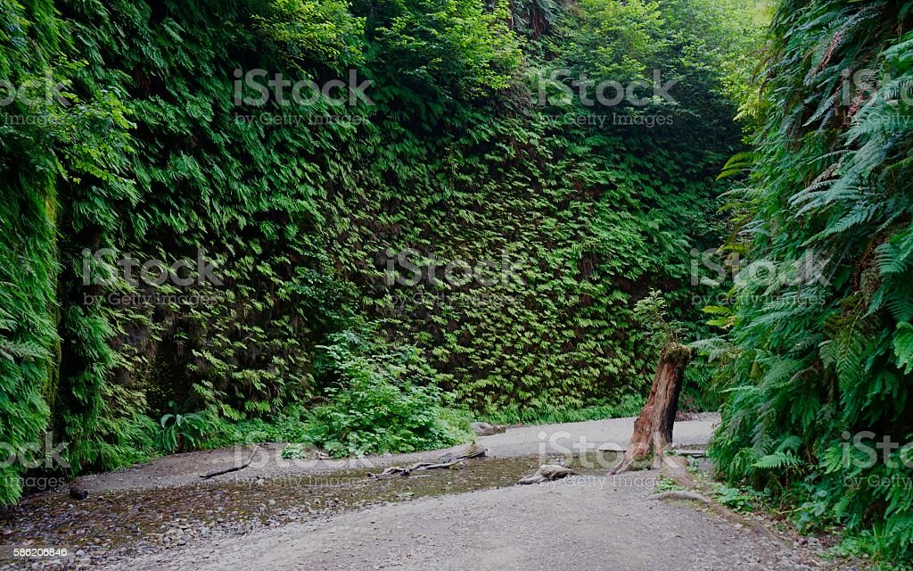 Humboldt County's Fern Canyon stock photo