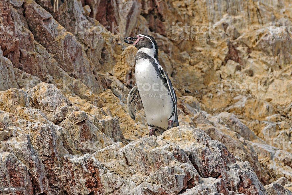Humboldt Penguin on the Peruvian Coast stock photo