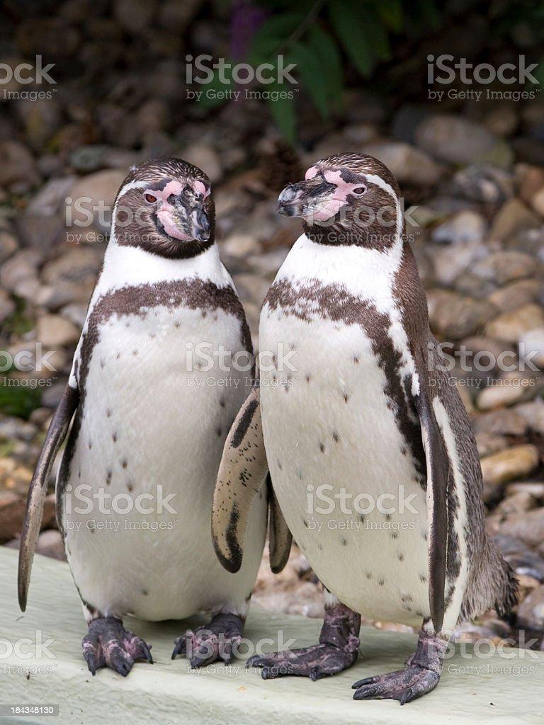 Humboldt Penguin pair royalty-free stock photo