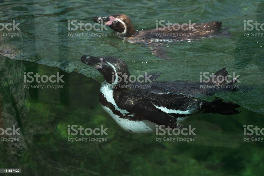 Humboldt penguin (Spheniscus humboldti). stock photo