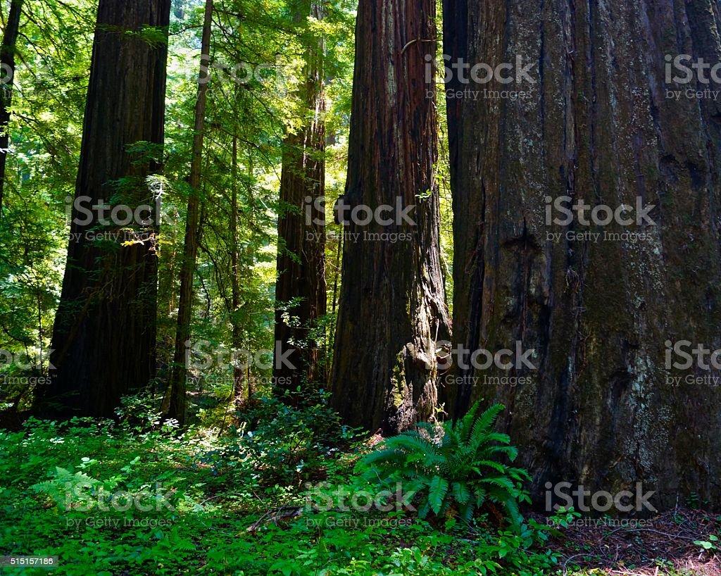 Humboldt Redwoods stock photo