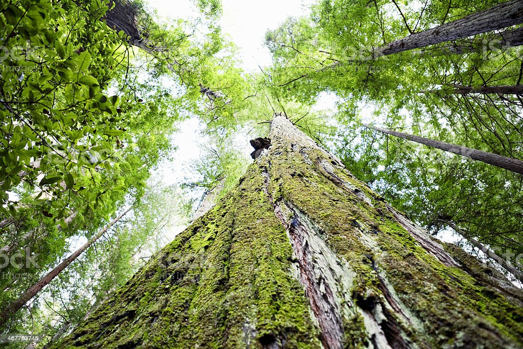 Humboldt Redwoods State Park royalty-free stock photo