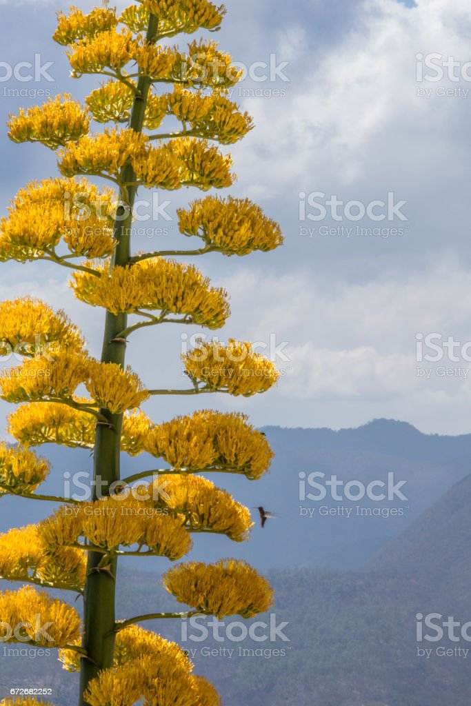 Humingbird next to tall agave's flower, Mexico stock photo