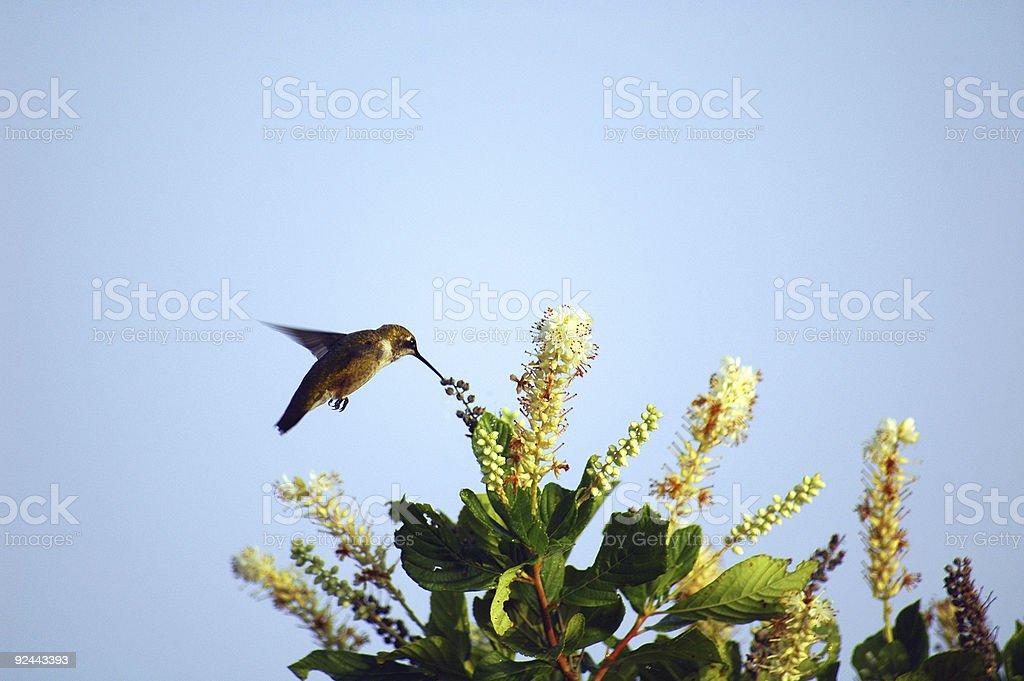 humming bird feeding royalty-free stock photo