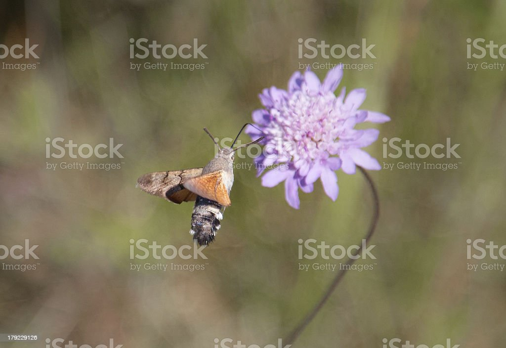 Humming bird moth feding stock photo